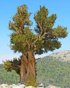 Great Basin bristlecone pine tree from California